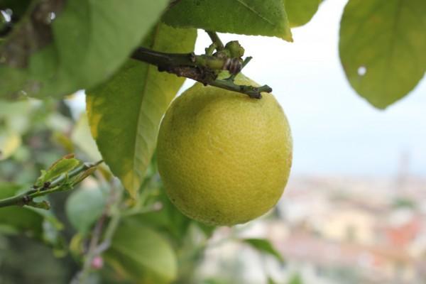citron avec Florence en toile de fond