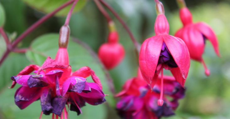 fleurs roses et mauves dans un jardin allemand