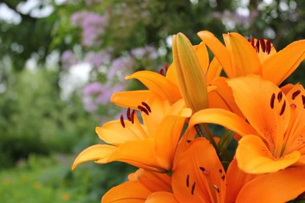 fleurs oranges dans un jardin allemand
